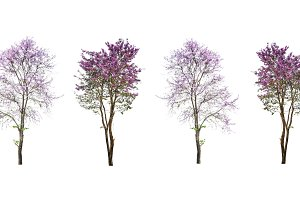 purple flower tree isolated on white