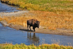Bison go on a watering place