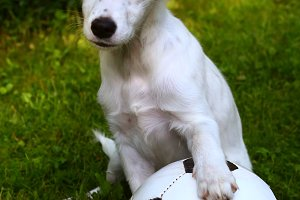 dalmatin white puppy dog play with soccer football ball