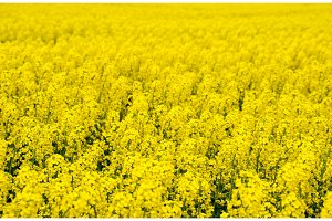 Rapeseed field. Background of rape blossoms. Flowering rape on the field.
