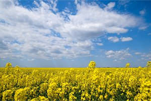 Rapeseed field. Yellow rape flowers, field landscape. Blue sky and rape on the field.