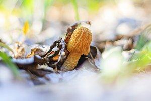 Morchella esculenta edible mushroom