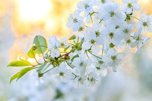 white spring flower in the morning rays