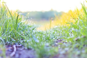 trail in green grass with dew