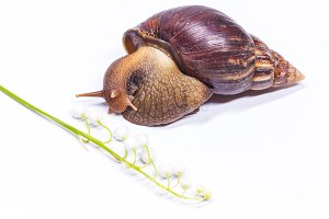 snail on a white background and white flowers