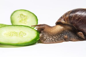 snail eating cucumber on a white background
