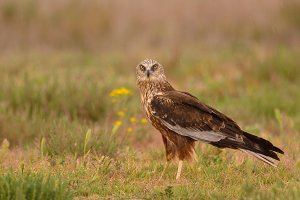 Western marsh harrier.