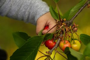 Baby picking cherries