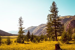 Sunny landscape. Fir on the background of golden grass and Altai mountains
