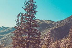 Pine and Altai mountains, retro toning