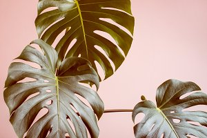 Pink monochrome tropical background with monster leaves