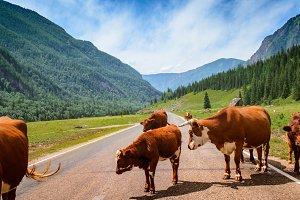 Red cows on asphalt road among Altai mountains