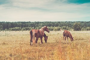 Three red horses graze on  flowering meadow. Retro toning