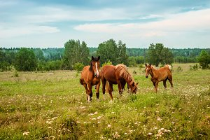 Three red horses graze on  flowering meadow