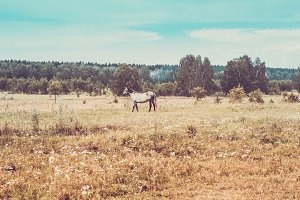gray horse grazes on meadow in background of forest. Toning