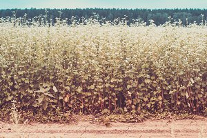 Field of blossoming buckwheat along village road and forest. Ton