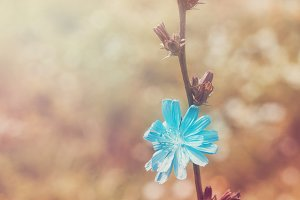 Stalk of chicory in meadow. Rural summer background