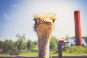 Portrait of an African ostrich closeup on sky background