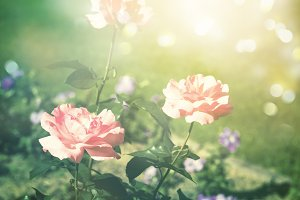 Summer background with blooming roses, sunlight and bokeh