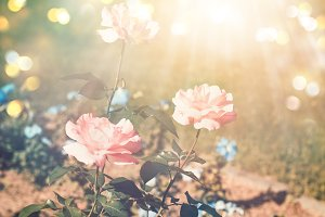 Summer background with blooming rose