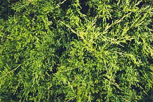 Green nature coniferous texture. Twigs thuya background