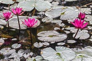 Beautiful Pink Water Lotus