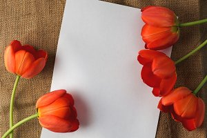 White card and red beautiful tulips,