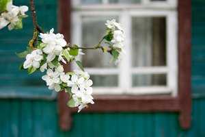 Apple blossoms in the garden