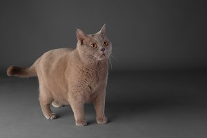 young handsome british cat on gray background