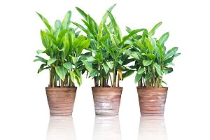 plants (heliconia) in clay pots