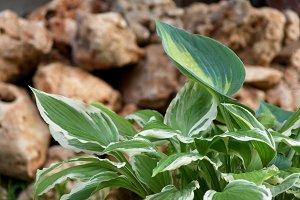 Hostas leaves on the rocks