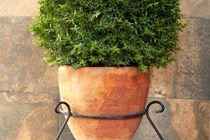 Elegant pot with boxwood on pedestal