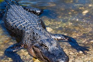 Crocodile in the Everglades