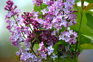 Lilac blossoms in the garden. Spring