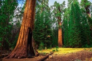 Giant Sequoia Forest in California