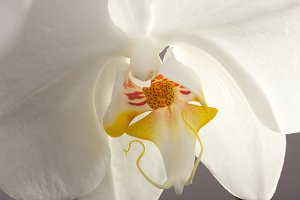 Beautiful White Macro Orchid Flower