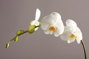 Blooming White Orchid Branch
