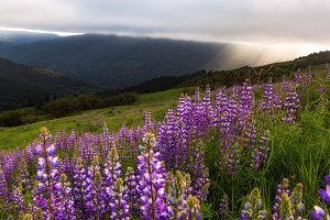 Lupine Flowers at Sunset