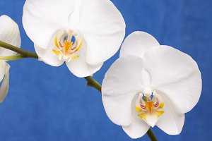 Blossoming White Orchid Branch