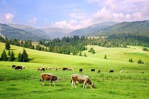Cows herd