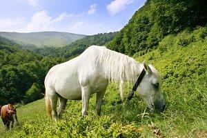 White horse on mounting medow