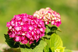 Hydrangea flower of magenta color