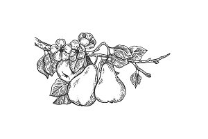 Pear tree branch engraving vector illustration
