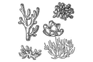 Coral sea plant engraving vector illustration