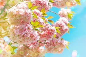 Blossoming of pink cherry
