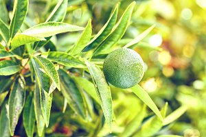 Green lime growing on tree