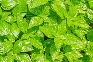 green Basil leaves background