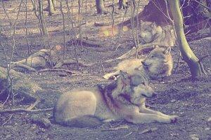Pack of wolves take a break