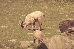 Capricorns on a field eating gras