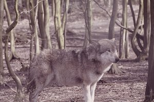 Wolve standing and waiting